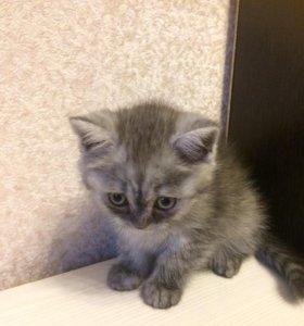 Скидка 1 день. шотландские котята