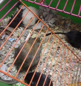 Мыши - песчанки