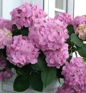 Цветок гортензия