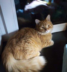 Золотой котик.