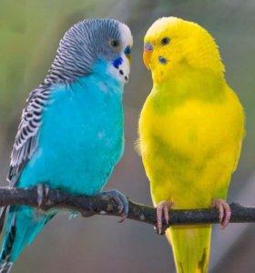 Попугай волнистый за одного