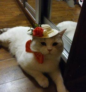 Вязка британского кота