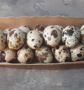 Яйцо перепелиное инкубационное, суточный молодняк
