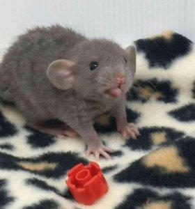 малыши крыски
