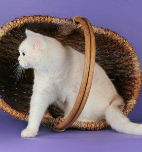 Вязка с шотландским прямоухим котом , чемпионом.