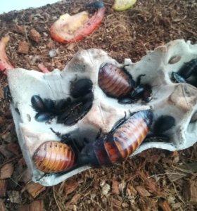 Мадагаскарские шипящие тараканы.