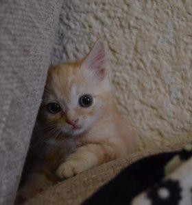 Котёнок Скотиш страйт (мальчик)
