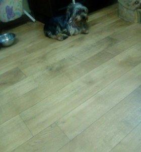 Подрощенный щенок йоркширского терьера