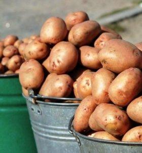 Картофель (12 литровое ведро)