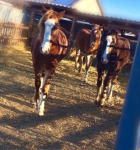 Продаю лошадей