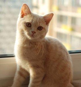 Британские котята редкого окраса