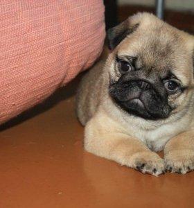 Предлагается к продажи щенок мопса