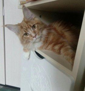 Продам котенка мейн-кун