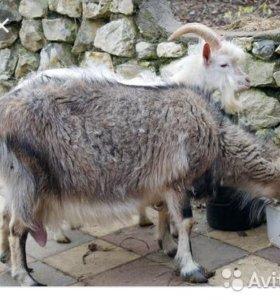 продам коз дойных