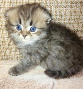Котята от вислоухой шотландской кошки