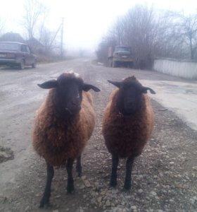 Продам две овечк