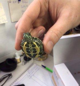🐢 черепаха