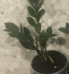 Долларовое дерево