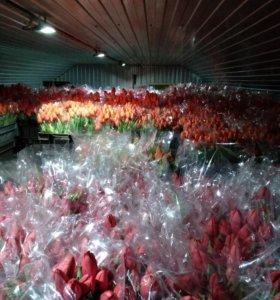 Королевский тюльпан ОПТ от производителя к 8 марта