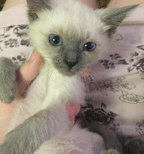 Котёнок от тайской кошки