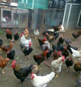 Куры домашние на мясо и яйцо.