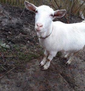 Зааненская дойная коза