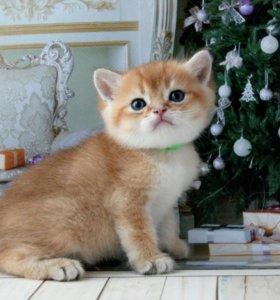 Элитные британские золотые котята