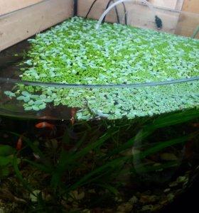 Ряска в аквариум