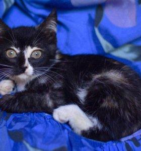 Тайна - трехцветный котенок девочка