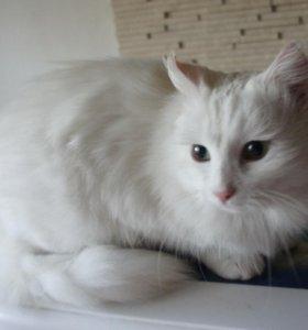 белая ангорская кошка в добрые руки