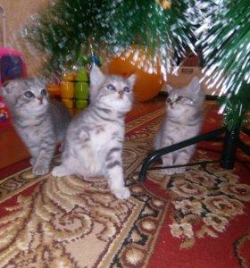 🐈 Шотландские котятки