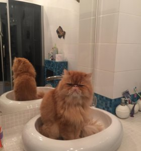 Кот перс бесплатно