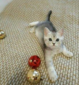 Шотландский плюшевый котик