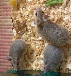 Иглистые мышки