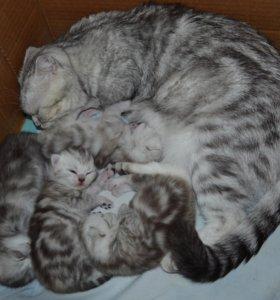 Шотладцкие мраморные котята