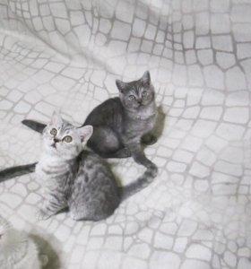 Британские котята 2,5 мес.