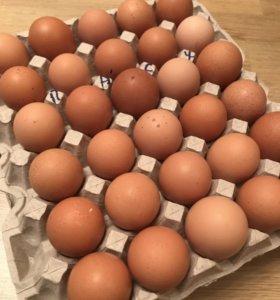 Инкубационное яйцо цветного бройлера
