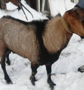 Англо-нубийский козёл