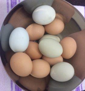 Яйца домашние (голубые то же)