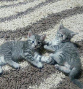 Котята шотландские,1,5мес