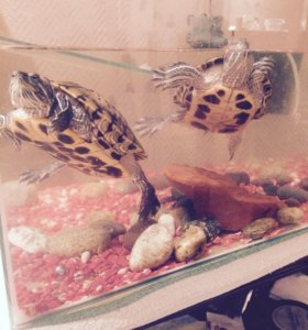 Отдам черепах вместе с аквариумом