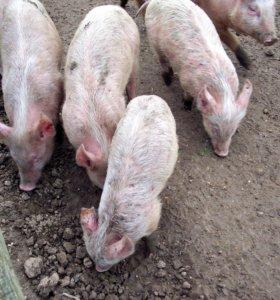Свинки и хрячки