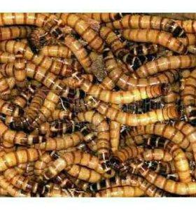 Кормовые насекомые