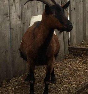 Суягные козы разных пород и возрастов.