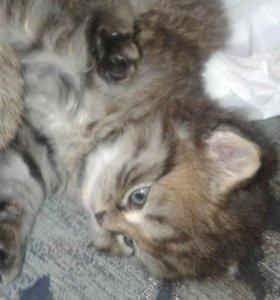 Шотландские длинношерстные котята