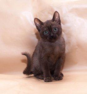 Бурма котята