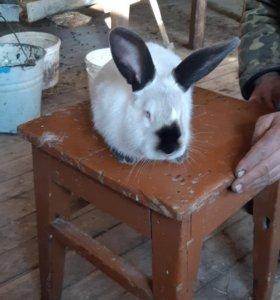 Кролики калифорнийцы чистокровные