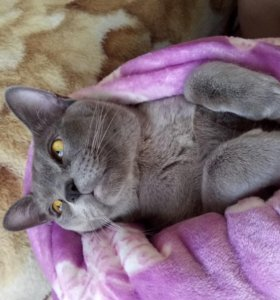 Бурманский кот на вязку
