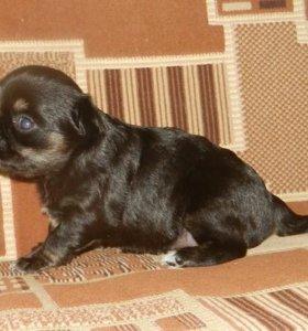 Длинношерстный мини мальчик чихуахуа триколор