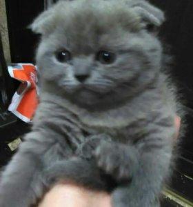 Чистокровные Шотландские вислоухие котята